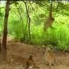 Maimuta care face misto de tigri