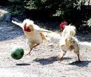 Cocosii fotbalisti