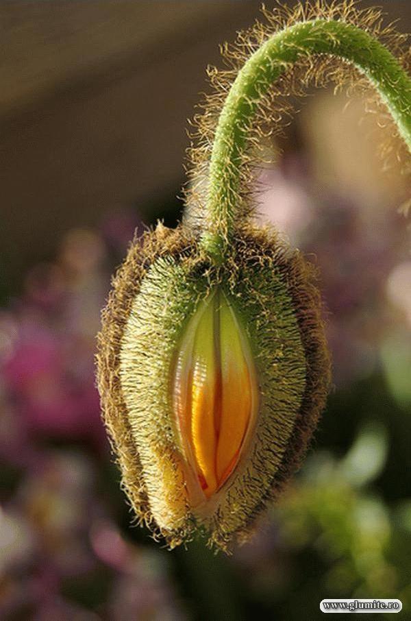 Floare ajunsa la pubertate